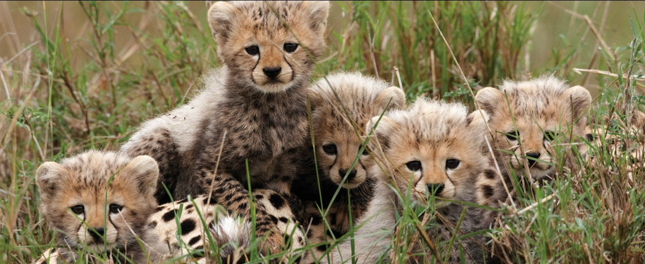 african-cats disney nature
